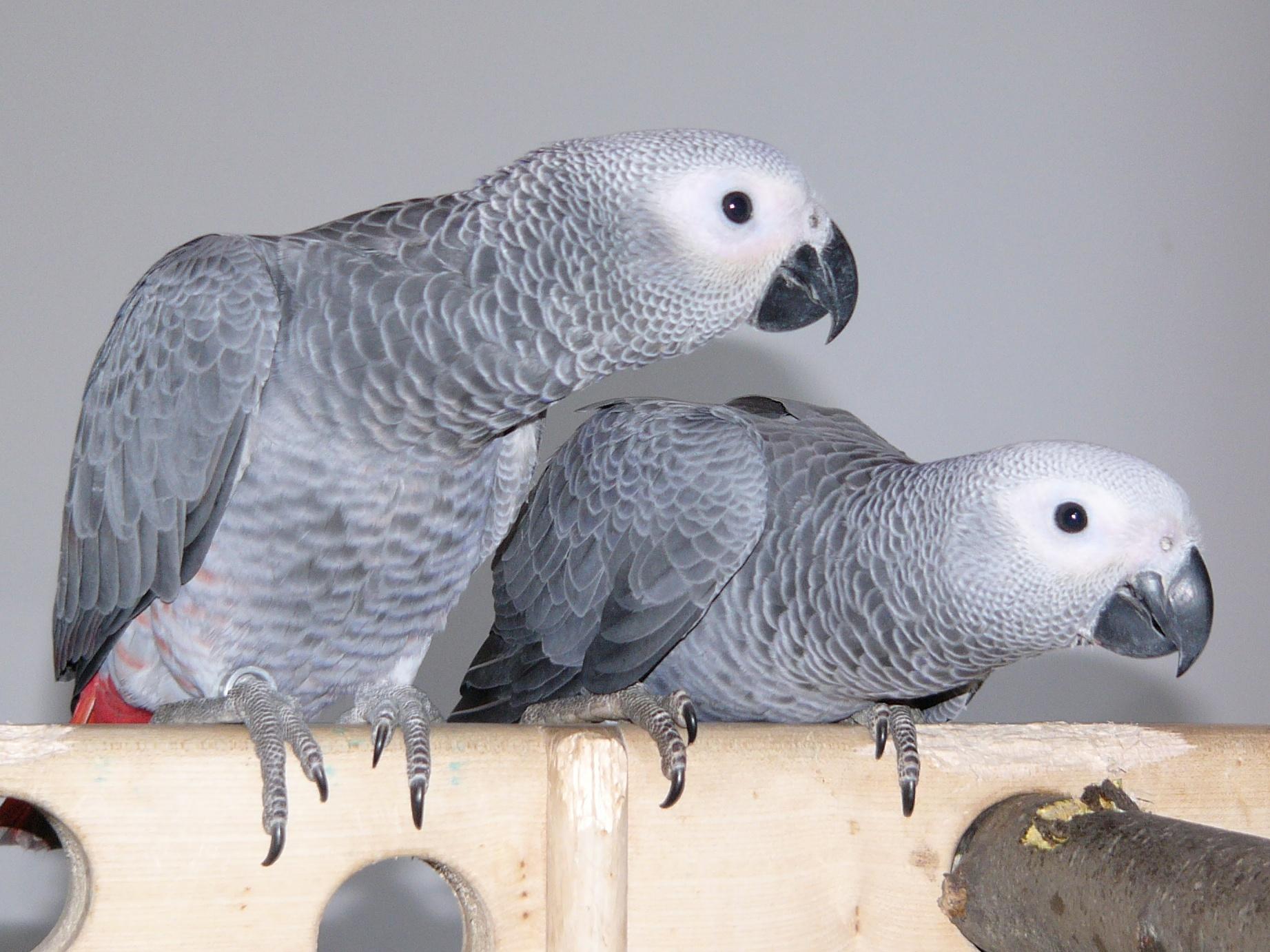 CITES: Od soboty začnou platit nová pravidla pro chovatele papoušků žako a zpracovatele dřeva ze vzácných dřevin