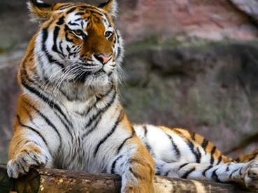 Ministr Brabec: Česká republika zavádí zákaz vývozu tygrů do zemí mimo EU