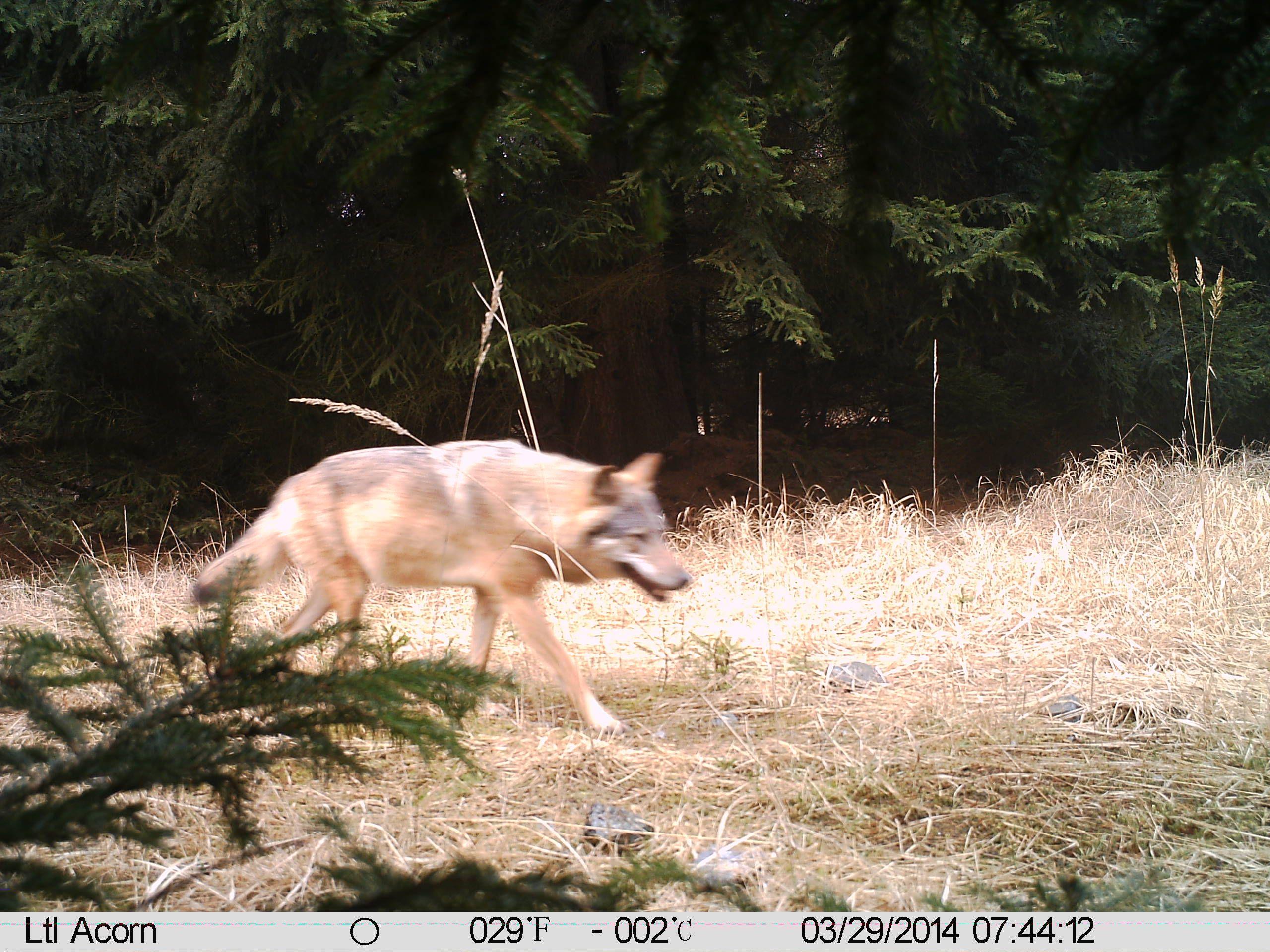 Fotopast: první jednoznačný doklad výskytu vlka v severních Čechách