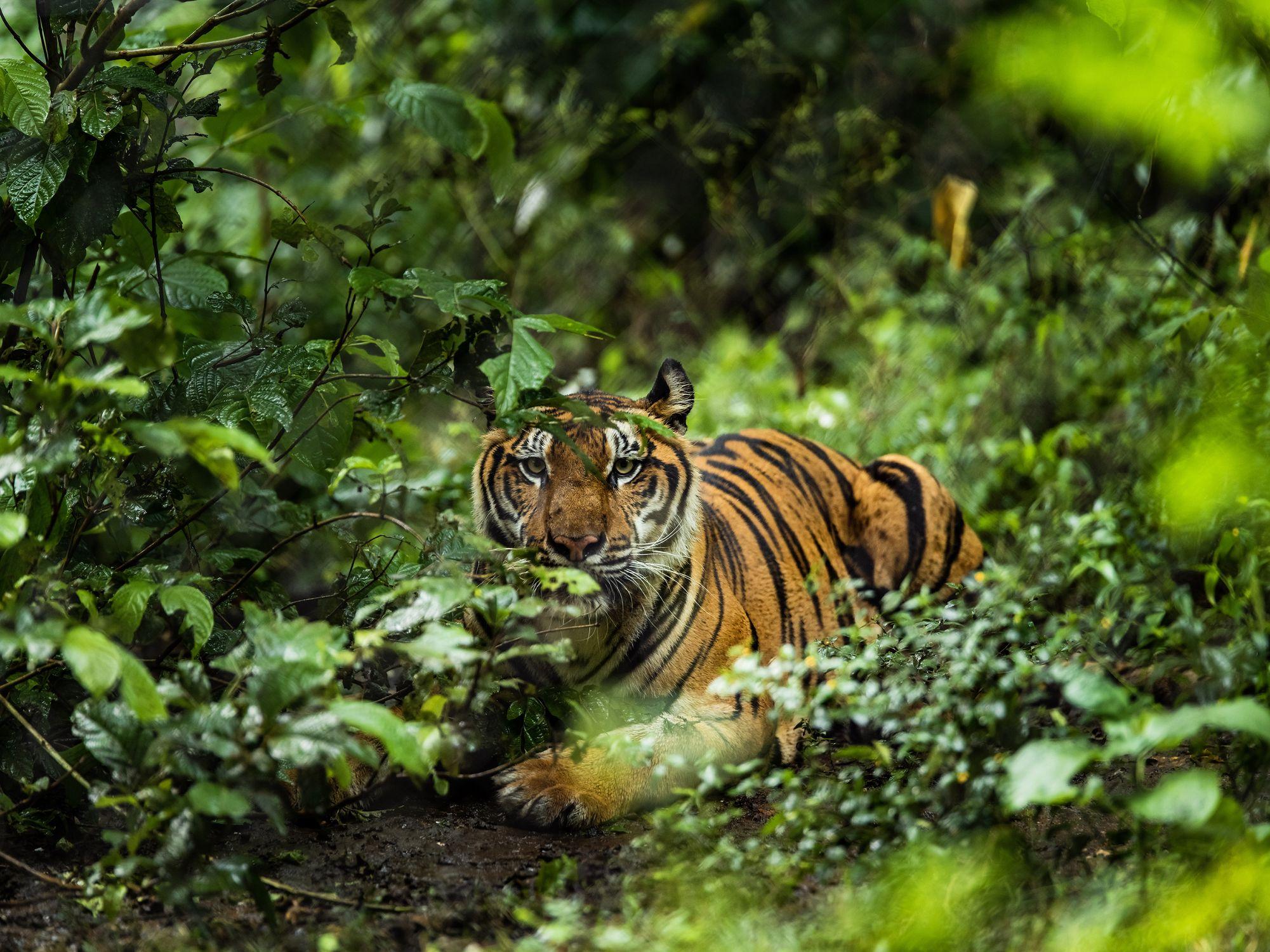 V ČR se budou zkoumat vzorky DNA tygrů z celého světa. Úspěšnou dohodu prosadila česká delegace na konferenci CITES v Ženevě