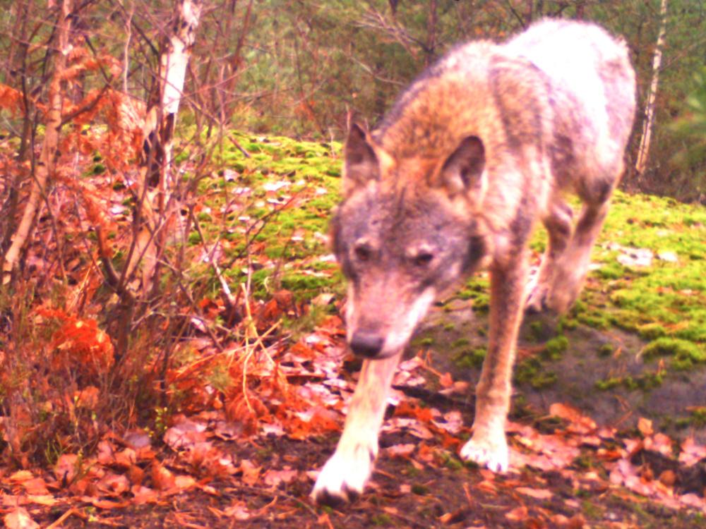 Česko má nový plán, jak přistupovat k vlkům