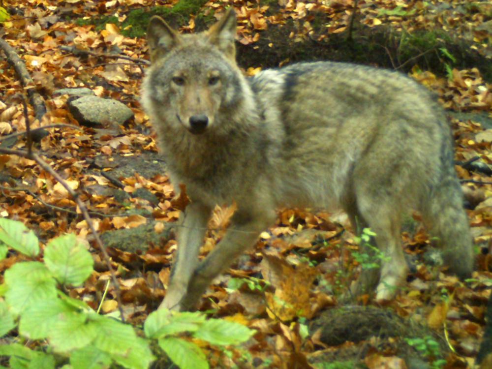 Počet vlčích smeček se za rok zvýšil, do Česka zasahuje osmnáct vlčích teritorií